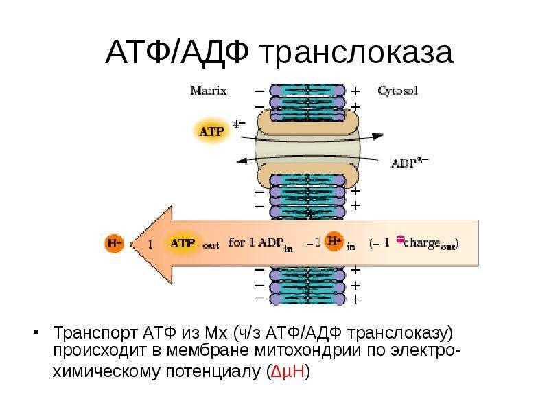 ATФ/AДФ транслоказа Транспорт АТФ из Мх (ч/з ATФ/AДФ транслоказу) происходит в мембране митохондрии