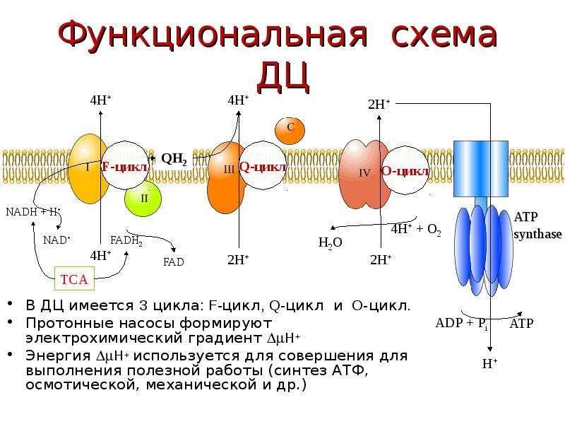 Функциональная схема ДЦ В ДЦ имеется 3 цикла: F-цикл, Q-цикл и O-цикл. Протонные насосы формируют эл