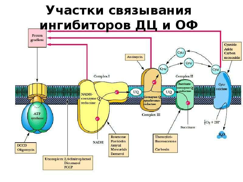 Участки связывания ингибиторов ДЦ и ОФ