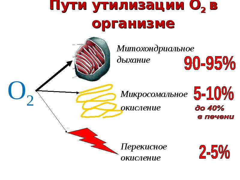 Пути утилизации О2 в организме