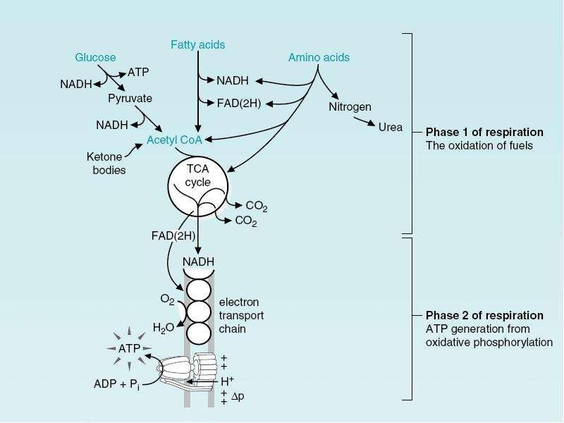 Тканевое дыхание, окислительное фосфорилирование. Микросомальное и перекисное окисление, слайд 10