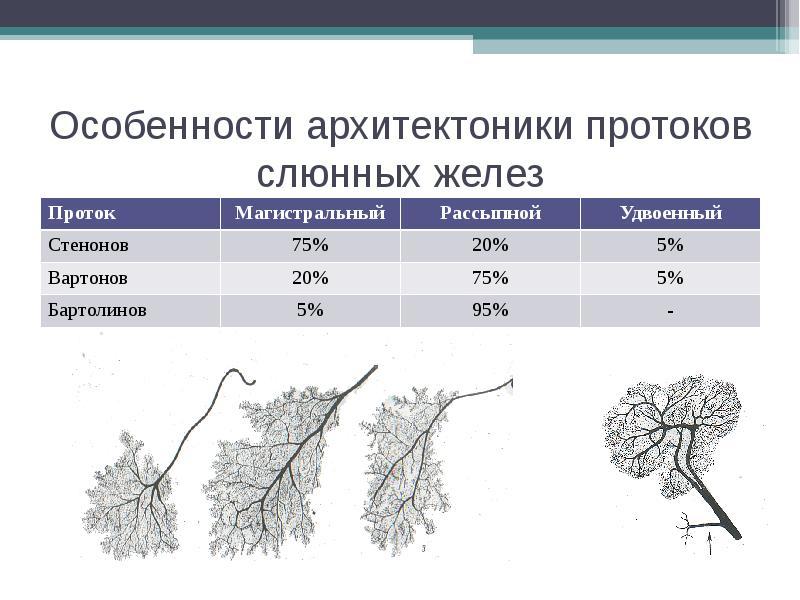 Особенности архитектоники протоков слюнных желез