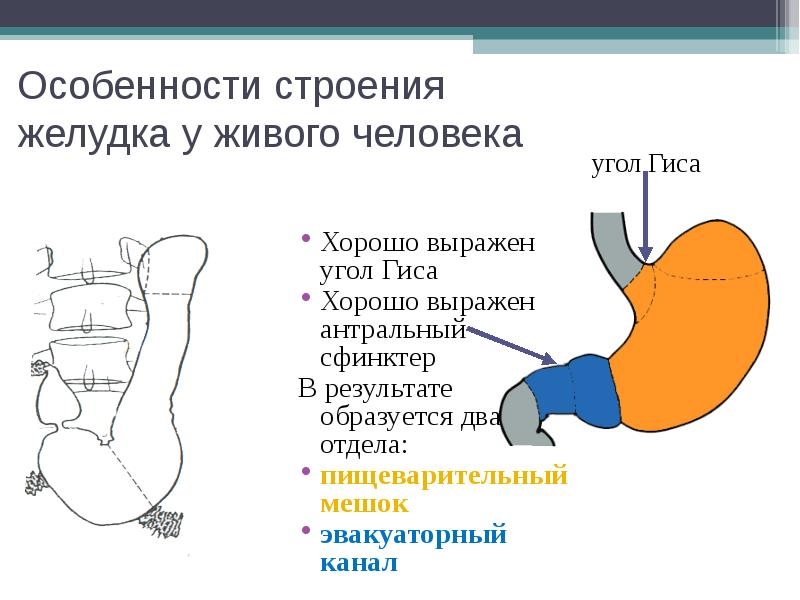 Особенности строения желудка у живого человека Хорошо выражен угол Гиса Хорошо выражен антральный сф