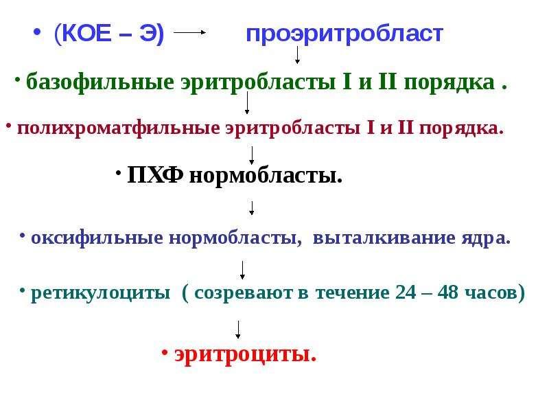 (КОЕ – Э) проэритробласт (КОЕ – Э) проэритробласт