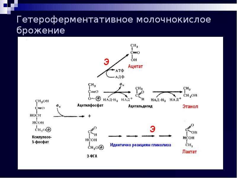 Гетероферментативное молочнокислое брожение