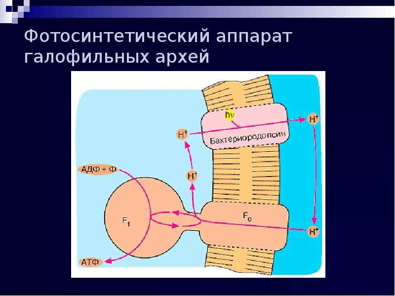 Фотосинтетический аппарат галофильных архей