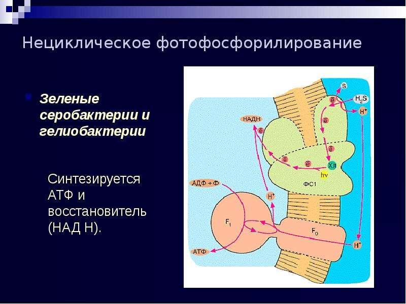 Нециклическое фотофосфорилирование Зеленые серобактерии и гелиобактерии