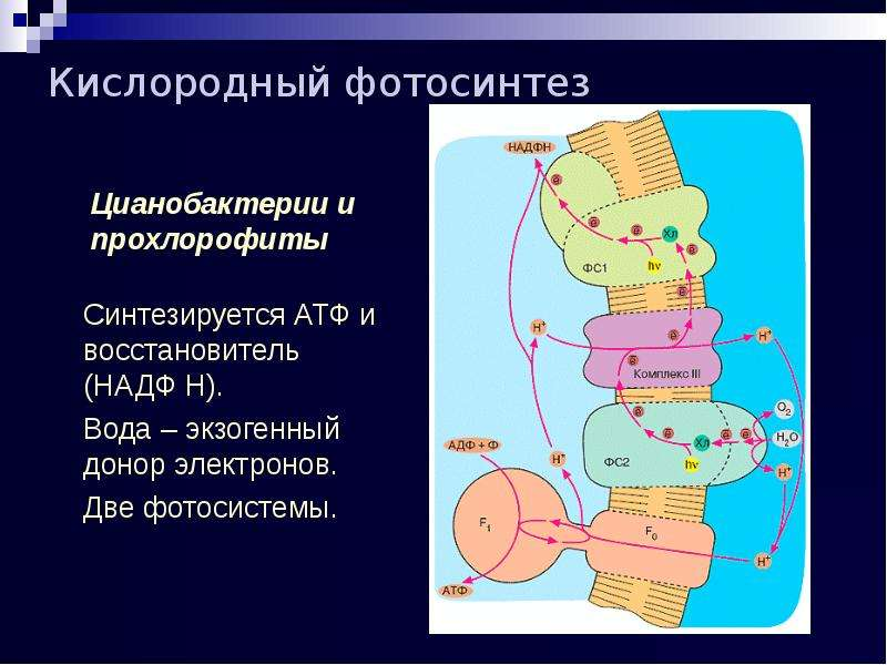 Кислородный фотосинтез Цианобактерии и прохлорофиты