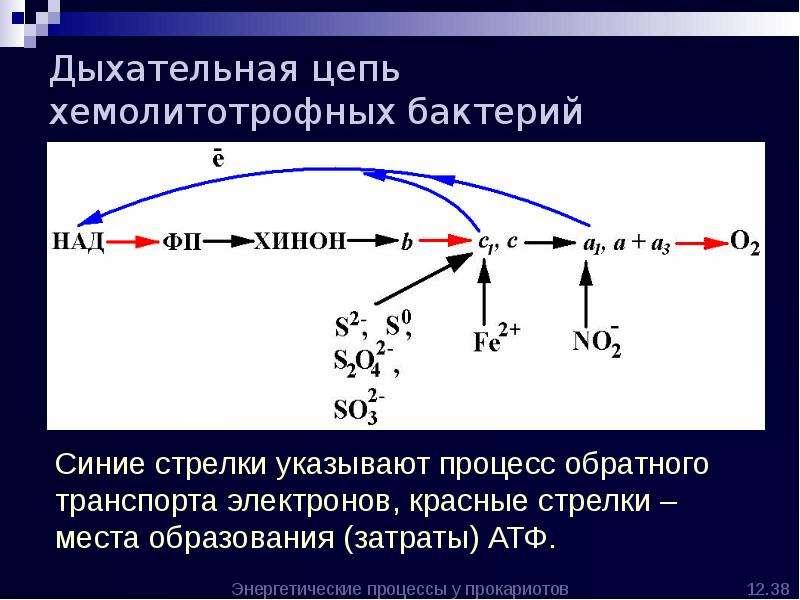 Дыхательная цепь хемолитотрофных бактерий