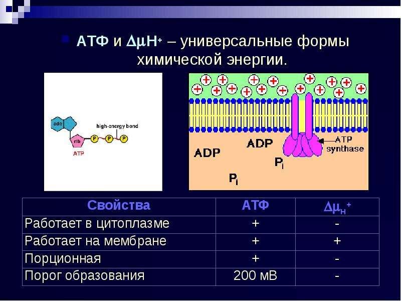 АТФ и H+ – универсальные формы химической энергии. АТФ и H+ – универсальные формы химической эне