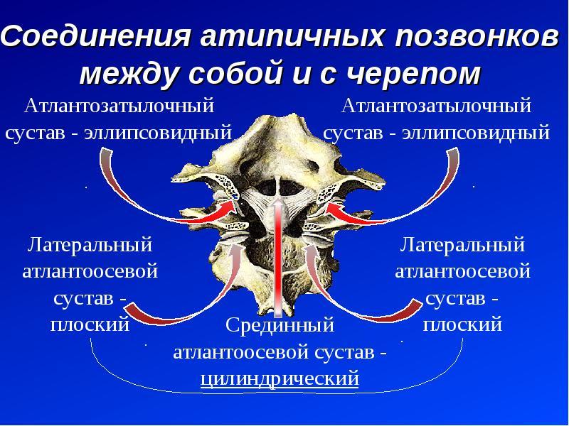 Соединения атипичных позвонков между собой и с черепом