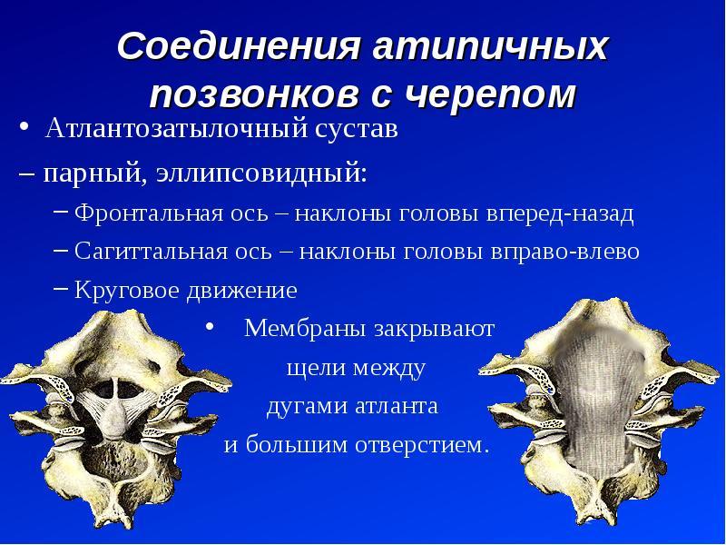 Соединения атипичных позвонков с черепом Атлантозатылочный сустав – парный, эллипсовидный: Фронтальн