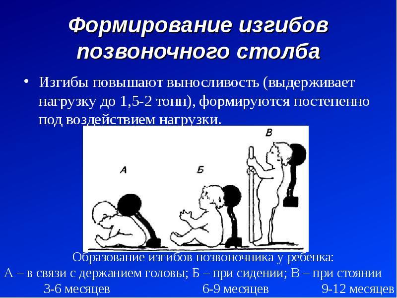 Формирование изгибов позвоночного столба Изгибы повышают выносливость (выдерживает нагрузку до 1,5-2