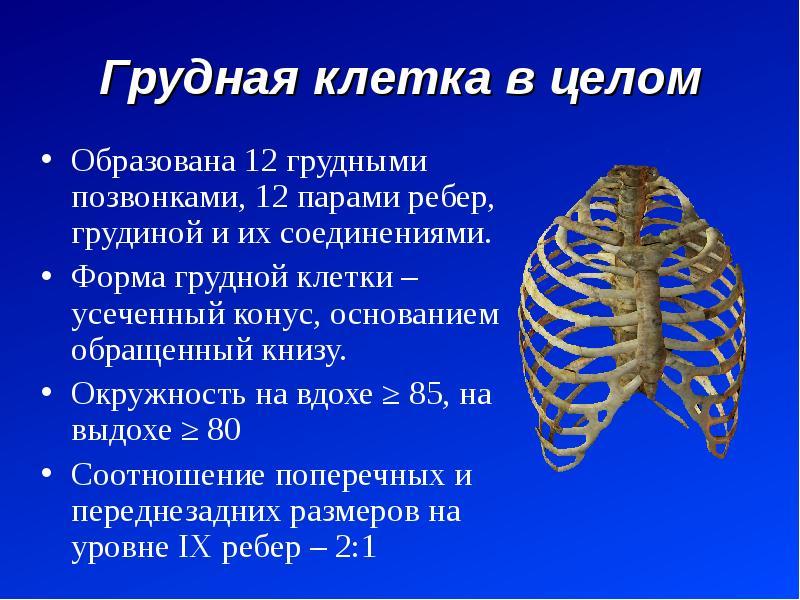Грудная клетка в целом Образована 12 грудными позвонками, 12 парами ребер, грудиной и их соединениям