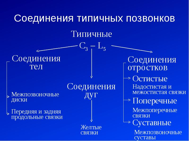 Соединения типичных позвонков
