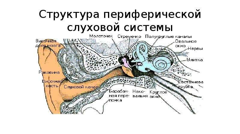Структура периферической слуховой системы