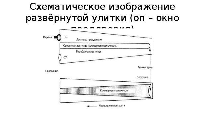 Схематическое изображение развёрнутой улитки (оп – окно преддверия)