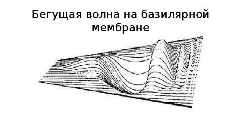 Бегущая волна на базилярной мембране
