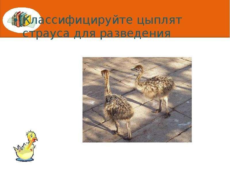Классифицируйте цыплят страуса для разведения Классифицируйте цыплят страуса для разведения