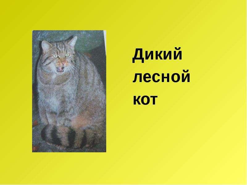 Дикий Дикий лесной кот