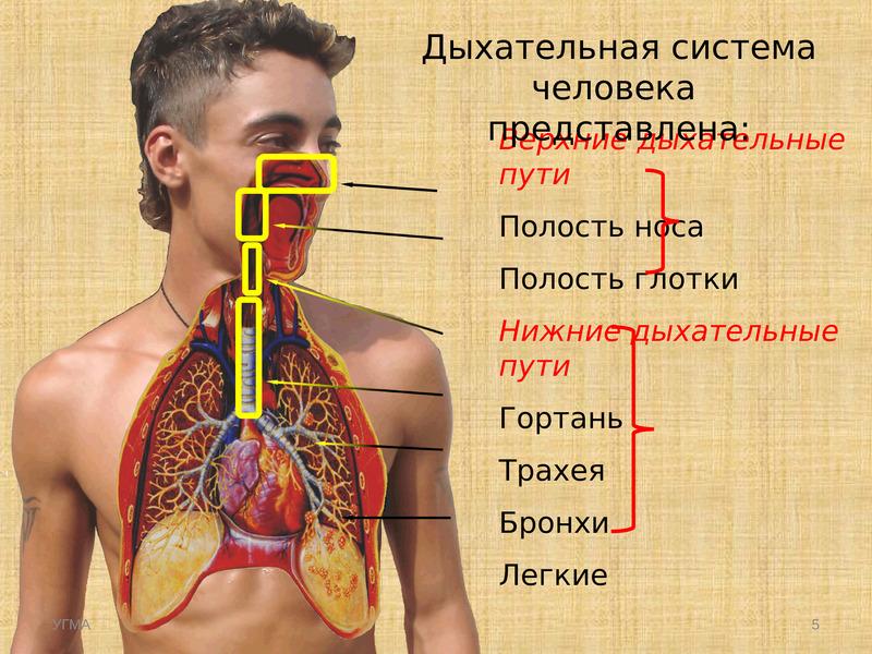 Строение дыхательных путей человека фото