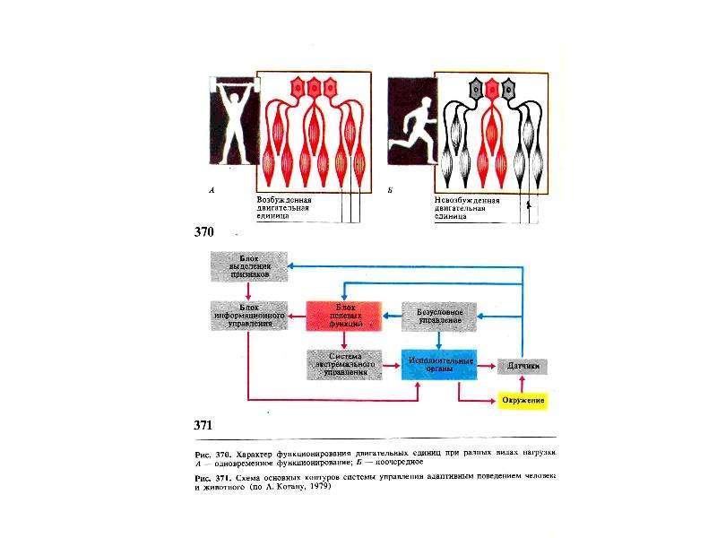Физиология спортивной деятельности. Физиологические основы обучения и совершенствования спортивной техники, слайд 13