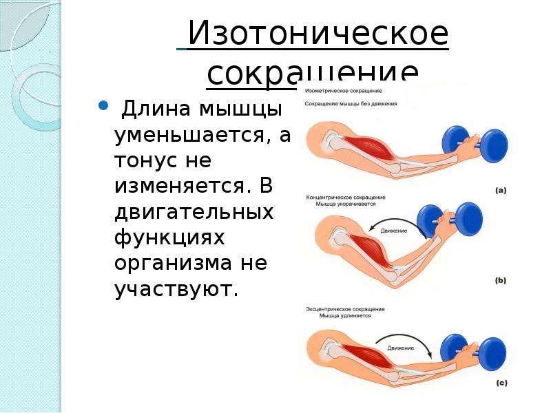 Изотоническое сокращение Длина мышцы уменьшается, а тонус не изменяется. В двигательных функциях орг