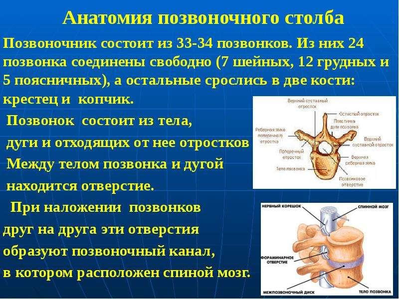 Анатомия позвоночного столба Позвоночник состоит из 33-34 позвонков. Из них 24 позвонка соединены св