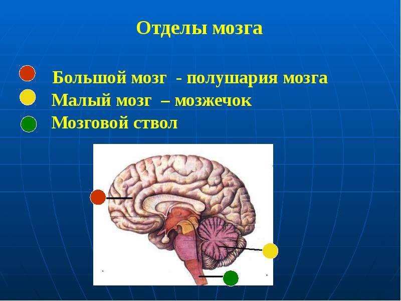 Отделы мозга Большой мозг - полушария мозга Малый мозг – мозжечок Мозговой ствол