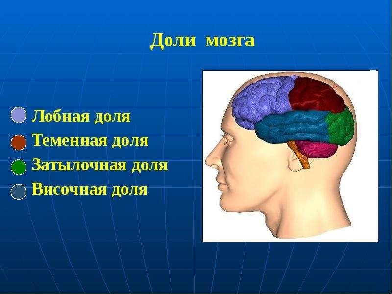 Доли мозга Лобная доля Теменная доля Затылочная доля Височная доля