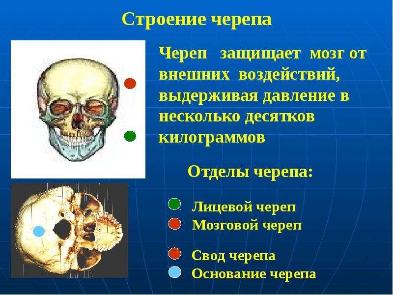Строение черепа Лицевой череп Мозговой череп Основание черепа Свод (крыша) черепа