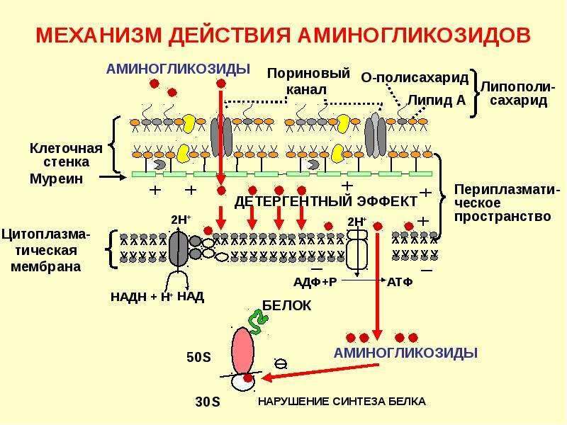 Антибиотики. Классификация антибиотиков по механизму действия, слайд 27