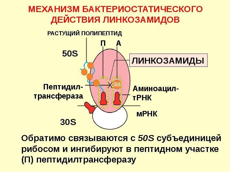 МЕХАНИЗМ БАКТЕРИОСТАТИЧЕСКОГО ДЕЙСТВИЯ ЛИНКОЗАМИДОВ
