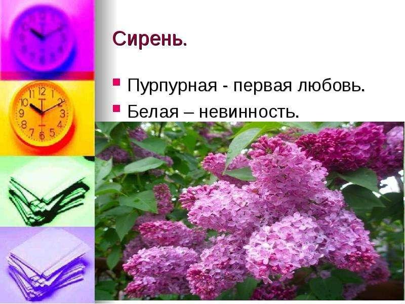Сирень. Пурпурная - первая любовь. Белая – невинность.