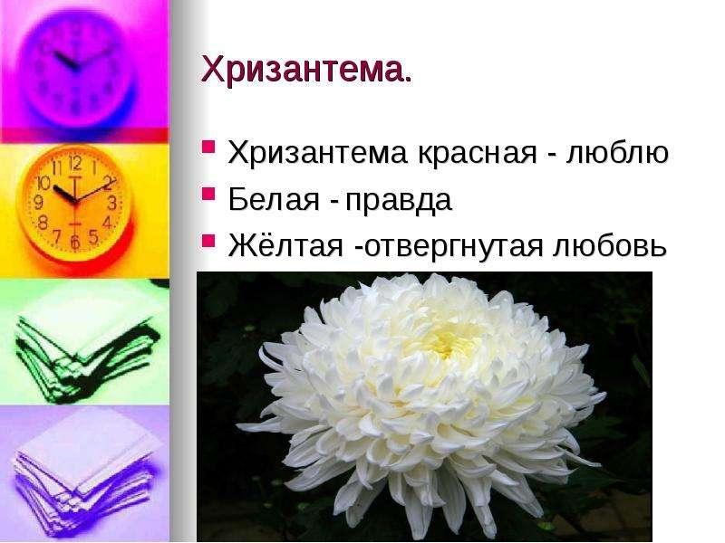 Хризантема. Хризантема красная - люблю Белая - правда Жёлтая -отвергнутая любовь