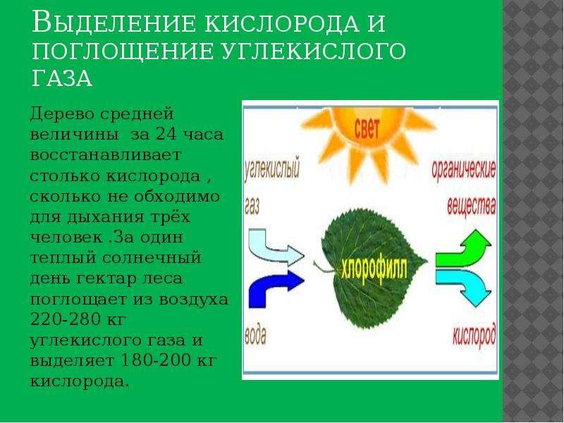 Выделение кислорода и поглощение углекислого газа Дерево средней величины за 24 часа восстанавливает
