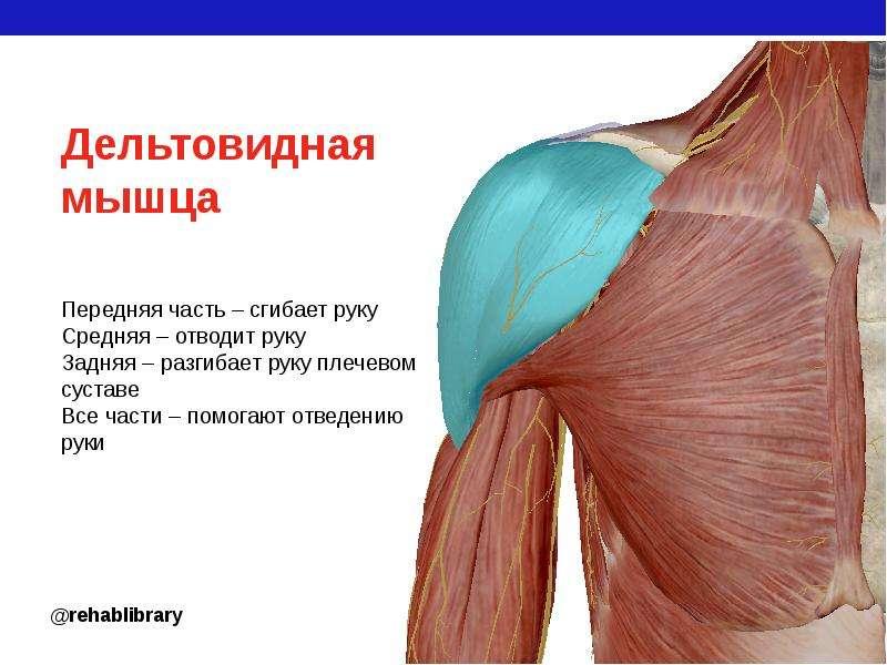 дельтовидная мышца картинки меня всегда проблемы