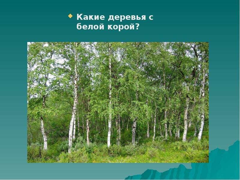 Какие деревья с белой корой? Какие деревья с белой корой?