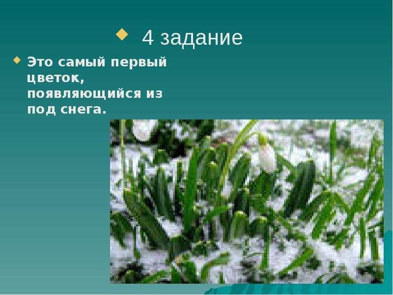 Это самый первый цветок, появляющийся из под снега.