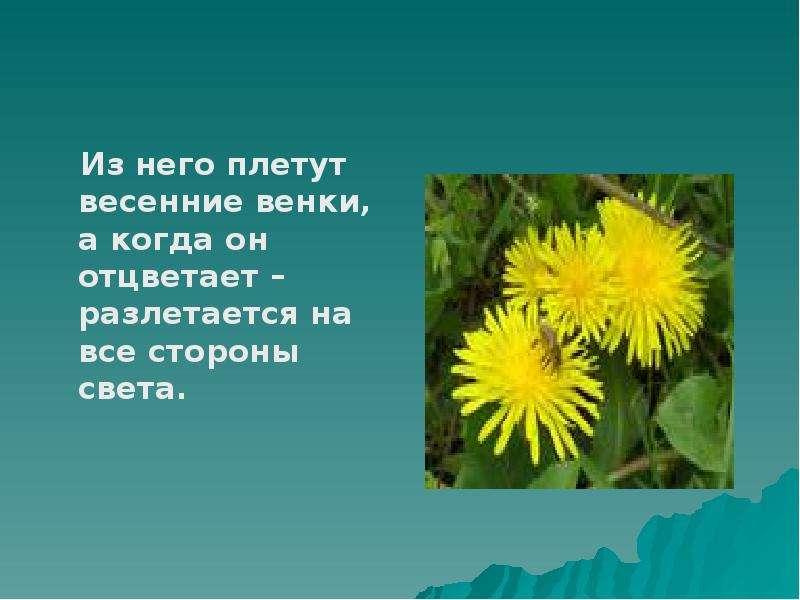 Из него плетут весенние венки, а когда он отцветает – разлетается на все стороны света.