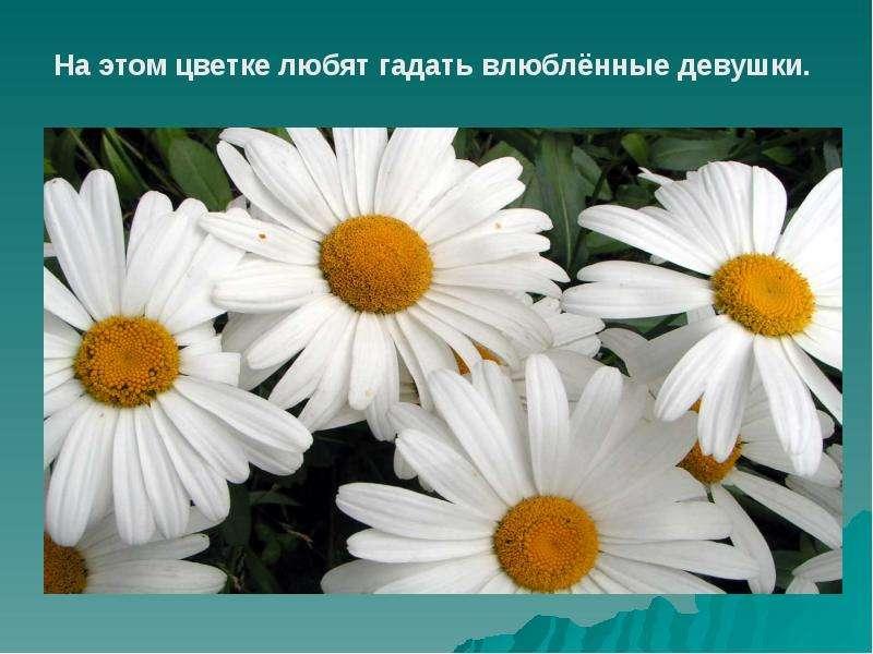 На этом цветке любят гадать влюблённые девушки.