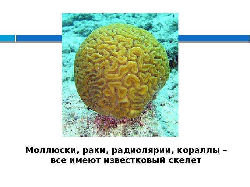 Моллюски, раки, радиолярии, кораллы – все имеют известковый скелет