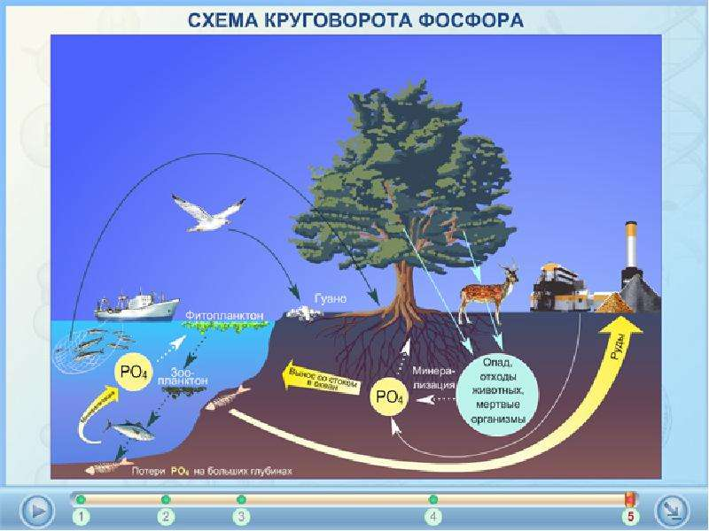 Круговорот фосфора в природе картинки для