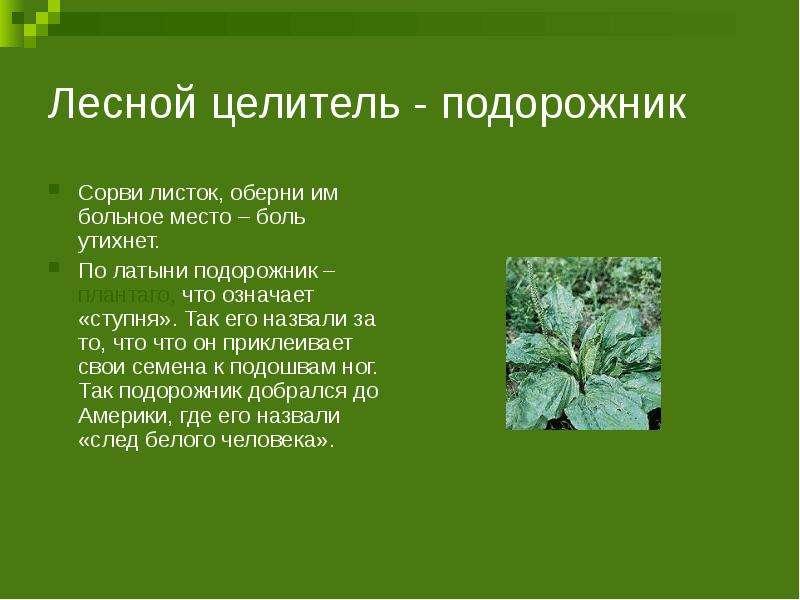Лесной целитель - подорожник Сорви листок, оберни им больное место – боль утихнет. По латыни подорож