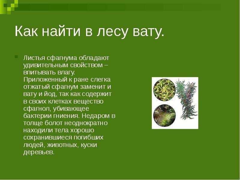 Как найти в лесу вату. Листья сфагнума обладают удивительным свойством – впитывать влагу. Приложенны