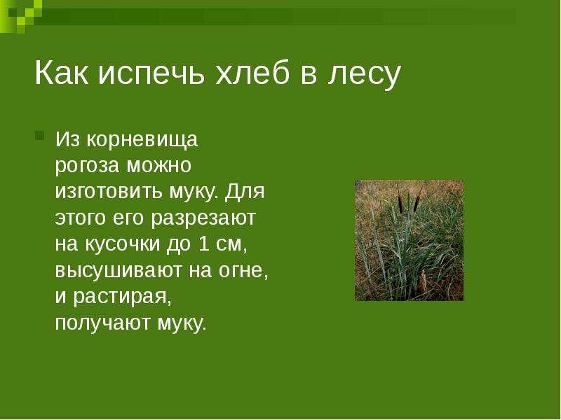 Как испечь хлеб в лесу Из корневища рогоза можно изготовить муку. Для этого его разрезают на кусочки
