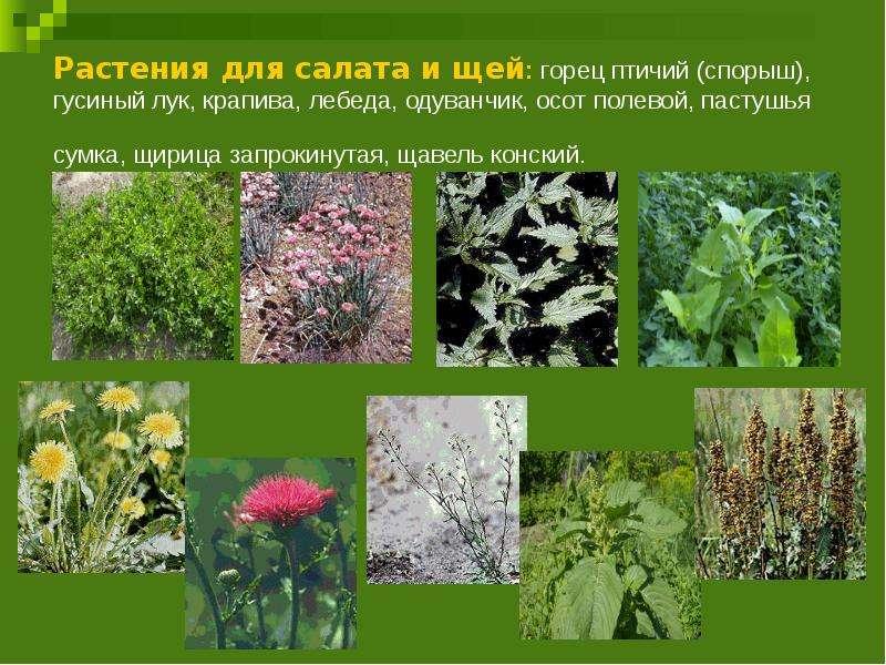 Растения для салата и щей: горец птичий (спорыш), гусиный лук, крапива, лебеда, одуванчик, осот поле