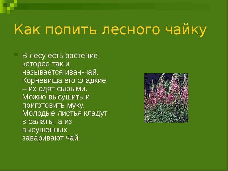 Как попить лесного чайку В лесу есть растение, которое так и называется иван-чай. Корневища его слад
