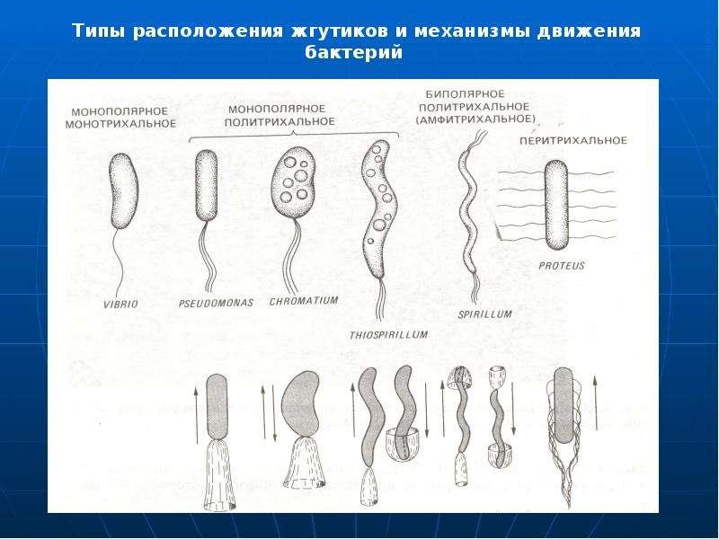 Микробиологическая лаборатория и ее задачи. Микроскоп и работа с ним. Морфология шаровидных бактерий, слайд 44