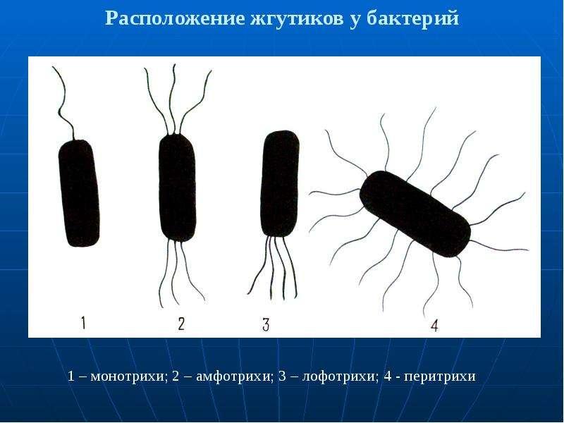 Расположение жгутиков у бактерий